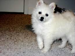 american eskimo dog intelligence 99 best miniature american eskimo dogs images on pinterest