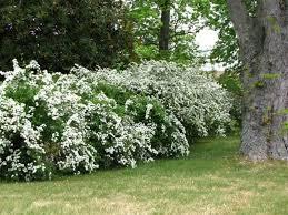 White Flowering Shrub - large evergreen shrubs with white flowers fresh flowering