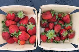 new hshire growing season for strawberries extended sciencedaily