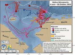 Alaska travel tracker images Walrus tracking projects alaska department of fish and game jpg