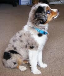 6 week old mini australian shepherd best 20 toy aussie ideas on pinterest aussie puppies toy