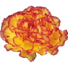 bulk carnations yellow and bulk carnations carnation tattoo and birth flowers