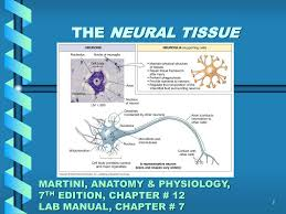 ppt the neural tissue martini anatomy u0026 physiology 7 th