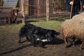 slash v australian shepherds aussies from overseas