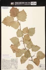 Uw Madison Map Online Virtual Flora Of Wisconsin Crataegus Holmesiana