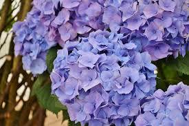 hydrangeas flowers free photo garden hydrangeas flowers flower blue purple max pixel
