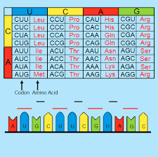 genetic code ck 12 foundation