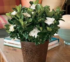 fragrant indoor plants bring the garden indoors with fragrant houseplants white flower