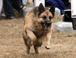 belgian sheepdog what s good about em what makes a good potential k9 service dog german shepherd
