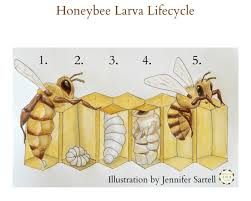 life cycle of a bee u2013 best life 2017