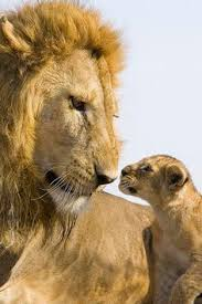 belgian shepherd headbutt lion and cub wild life great cats pinterest lions
