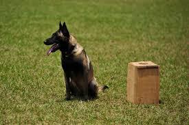 belgian shepherd houston best dog obedience schools in los angeles cbs los angeles