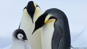 bbc earth if you think penguins are cute and cuddly you u0027re wrong