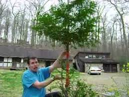 shows how to wrap the tree bark repair deer damage repellent
