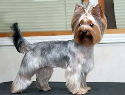 haircuts for yorkies yorkie haircuts pictures and select the best style for your pet