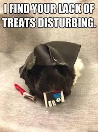 Shaved Guinea Pig Meme - guinea pig memes guinea pig hub