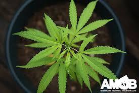 best light for weed seedlings indoor marijuana growing amsterdam marijuana seed bank