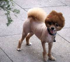 summer haircut pomeranian the curse of summer haircuts dogbrainblog