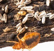 What Do Bed Bugs Eat How To Get Rid Of Bed Bugs Forever 15 Natural Ways