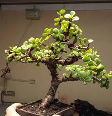 bonsai saule pleureur dwarf jade bonsai tree portulacaria afra indoor u0026 outdoor bonsai
