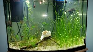 native aquarium plants just set up my bow front it u0027s all natural from local sources