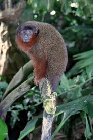 scientists discover new species of monkey nat geo education blog