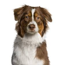 buy a australian shepherd 10 things you should know before owning an australian shepherd