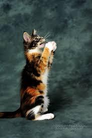 telecharger papier peint bureau gratuit maine coon chats de papier peint maine coon fines image de fond