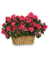 pink azalea basket flowering plants all house plants