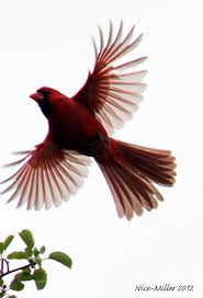 2591 best cardinals only images on pinterest beautiful birds