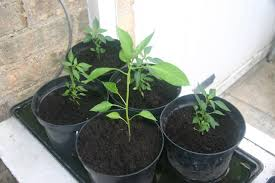chilli plants andysworld