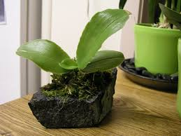mounting orchids on lava rock google search ideas for home