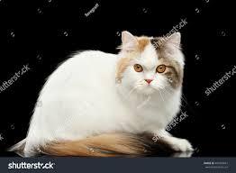 portrait mad scottish highland straight cat stock photo 447003667