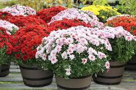 chrysanthemums u2013 growing care tips garden design