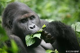 gorilla beringei eastern gorilla