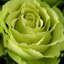 green roses green roses the green