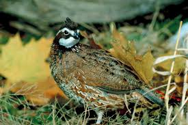 how to build your own bobwhite quail pen animals mom me