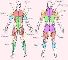 The Human Body Picture Muscle Archives Human Anatomy Chart