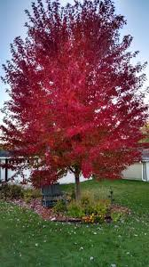 Ornamental Maple Tree Shade Ornamental Deciduous Trees For Sale Maple Oak Birch Lilac