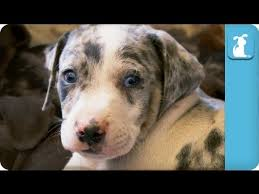 c c australian shepherds louisiana louisiana catahoula leopard puppies puppy love youtube