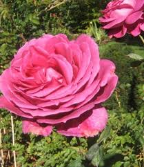 38 best care of roses images on pinterest pruning roses