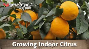 Indoor Vegetable Garden Kit by Growing Citrus Trees Indoors Organic Gardening Blog