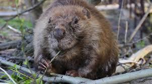 a toxic downside to saving beavers acs headline science youtube