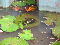 guppy fish farm in kerala guppy fish farm aqua