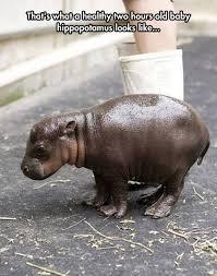 Hippo Memes - baby pygmy hippopotamus funny pictures funny photos funny