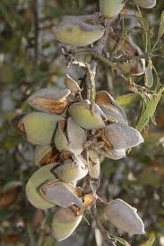 what almonds look like on the tree on the farm jp cotton