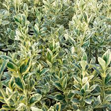 arbuste feuillage pourpre persistant catalogue arbustes à feuillage persistant page 2 sur 4 greenastic