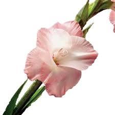 gladiolus flowers salmon pink flower