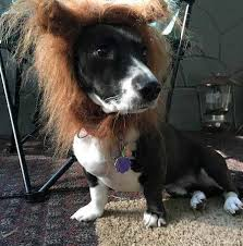 Lion Halloween Costume Dog Quickly Solve Halloween Costume Dilemma Dog Check