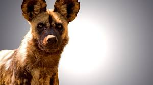 Kansas wild animals images Kansas city zoo to breed endangered african wild dogs jpg